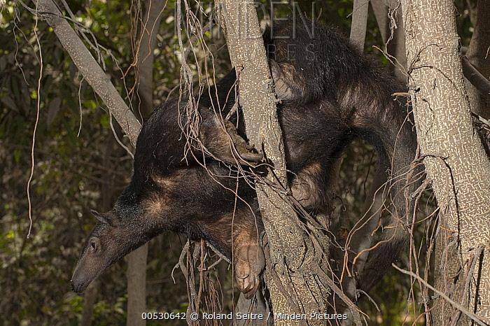 Southern Anteater (Tamandua tetradactyla) in tree, Lima, Peru  -  Roland Seitre