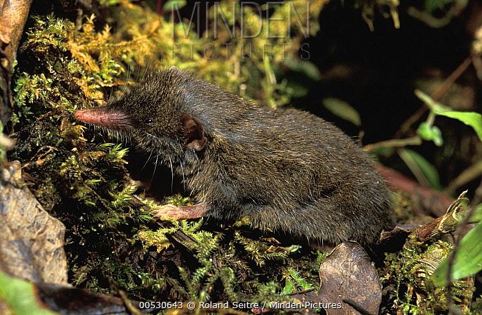 Shrew Tenrec (Microgale sp) newly discovered species, Madagascar  -  Roland Seitre
