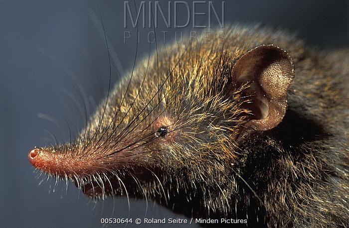 Montane Shrew Tenrec (Microgale monticola), Madagascar  -  Roland Seitre