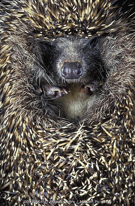Brown-breasted Hedgehog (Erinaceus europaeus) in defensive posture, Russia  -  Roland Seitre