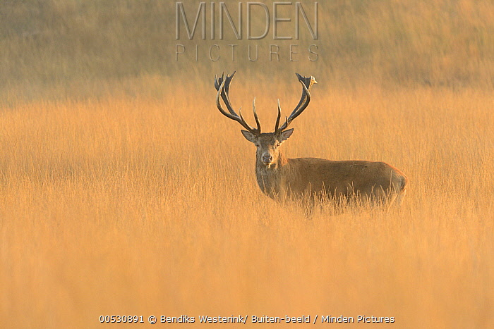 Red Deer (Cervus elaphus) male in field, Netherlands  -  Bendiks Westerink/ Buiten-beeld