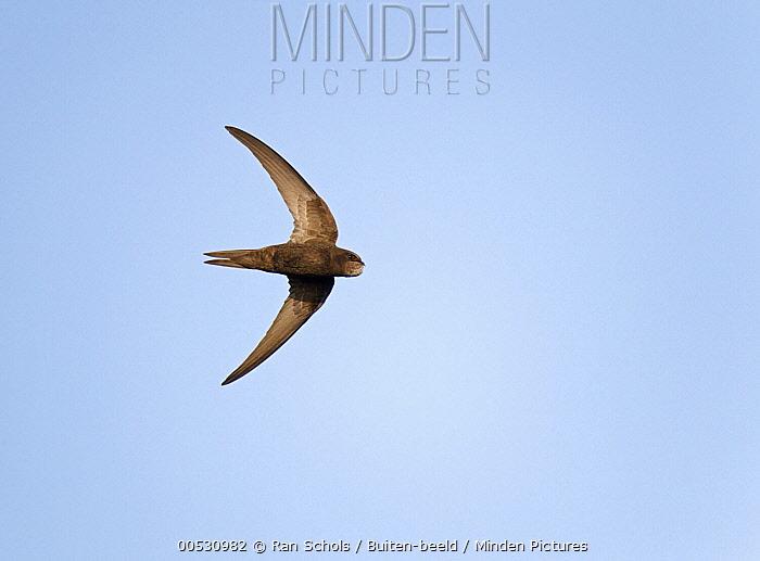 Common Swift (Apus apus) flying, Netherlands  -  Ran Schols/ Buiten-beeld