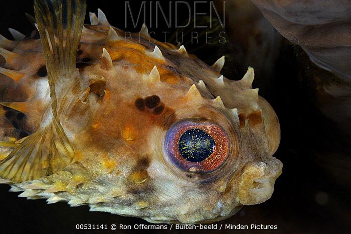Birdbeak Burrfish (Cyclichthys orbicularis), Lembeh Strait, Sulawesi, Indonesia  -  Ron Offermans/ Buiten-beeld