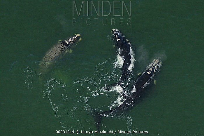 Southern Right Whale (Eubalaena australis) female and courting males, South Africa  -  Hiroya Minakuchi