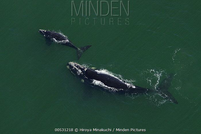 Southern Right Whale (Eubalaena australis) mother and calf surfacing, South Africa  -  Hiroya Minakuchi