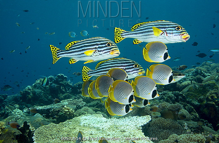 Eyepatch Butterflyfish (Chaetodon adiergastos) and Indian Ocean Oriental Sweetlips (Plectorhinchus vittatus) school, Bali, Indonesia  -  Fred Bavendam