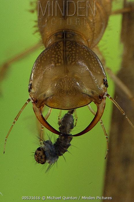 Diving Beetle (Dytiscidae) larva with mosquito larva prey, Alaska  -  Michael Quinton
