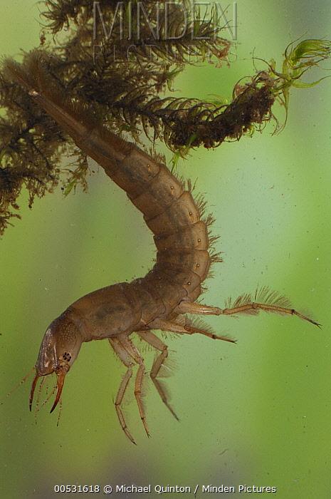 Diving Beetle (Dytiscidae) larva, Alaska  -  Michael Quinton