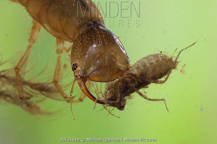 Diving Beetle (Dytiscidae) larva with dragonfly nymph prey, Alaska  -  Michael Quinton