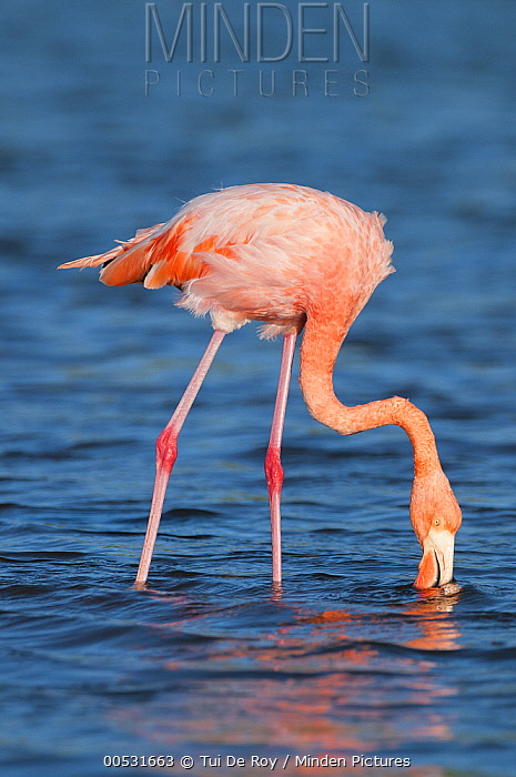 Greater Flamingo (Phoenicopterus ruber) foraging, Rabida Island, Galapagos Islands, Ecuador  -  Tui De Roy