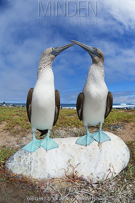 Blue-footed Booby (Sula nebouxii) pair courting, Santa Cruz Island, Galapagos Islands, Ecuador  -  Tui De Roy