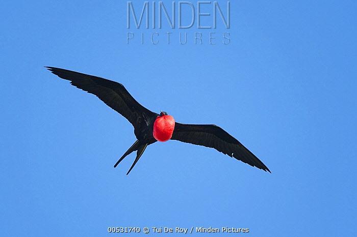 Great Frigatebird (Fregata minor) male flying with gular pouch partially inflated, Darwin Bay, Tower Island, Galapagos Islands, Ecuador  -  Tui De Roy