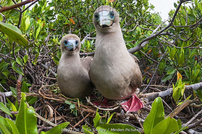 Red-footed Booby (Sula sula) pair at nest, Tower Island, Galapagos Islands, Ecuador  -  Tui De Roy
