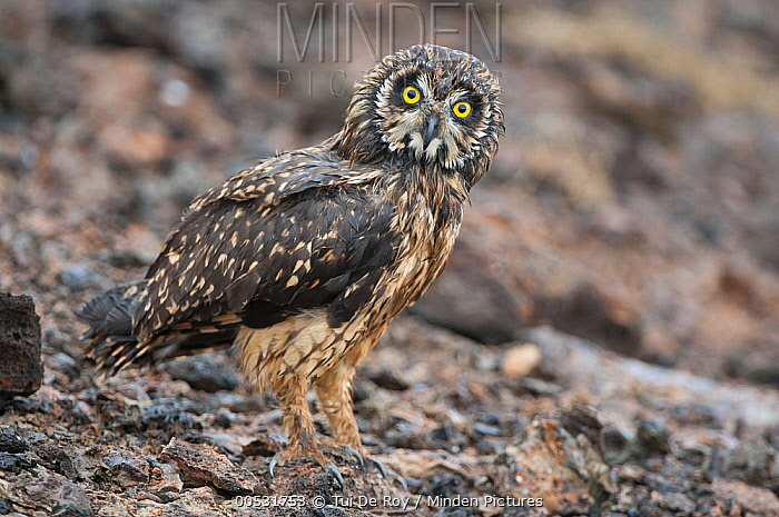 Short-eared Owl (Asio flammeus), Tower Island, Galapagos Islands, Ecuador  -  Tui De Roy