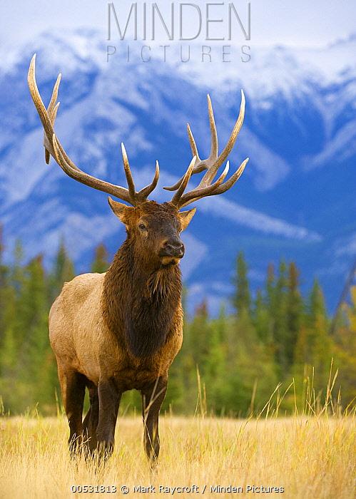 Elk (Cervus elaphus) bull, North America  -  Mark Raycroft