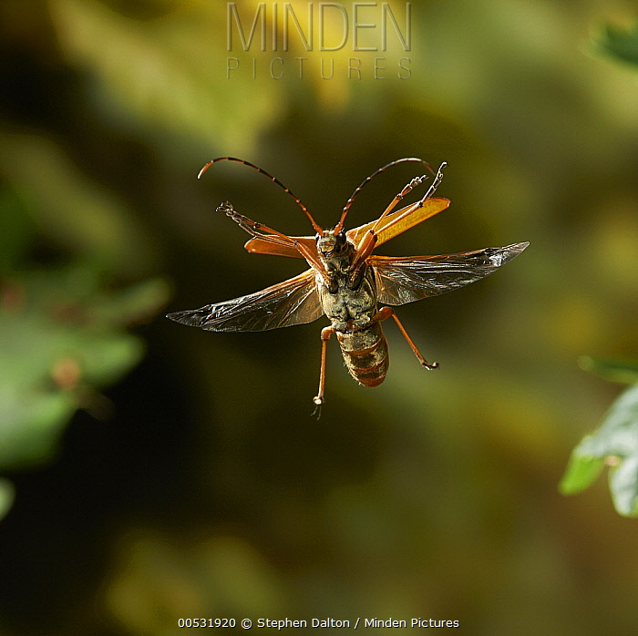 Longhorn Beetle (Cerambycidae) flying  -  Stephen Dalton