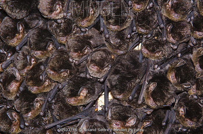 Little Long-fingered Bat (Miniopterus australis) colony roosting, Touaourou Mission, Yate, New Caledonia  -  Roland Seitre