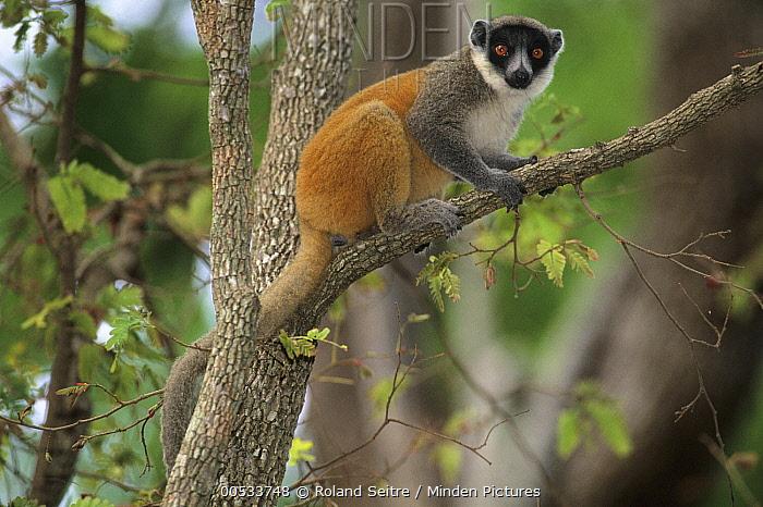Mongoose Lemur (Eulemur mongoz) x Common Brown Lemur (Eulemur fulvus) hybrid  -  Roland Seitre