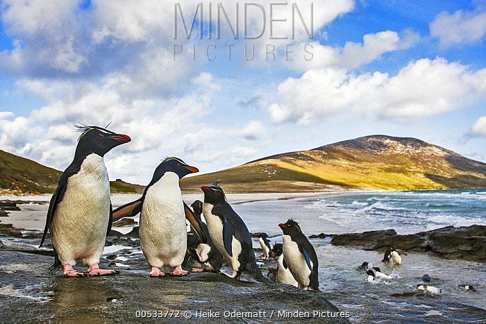 Southern Rockhopper Penguin (Eudyptes chrysocome) group bathing and sunning, Saunders Island, Falkland Islands  -  Heike Odermatt