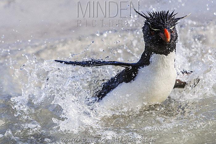 Southern Rockhopper Penguin (Eudyptes chrysocome) splashing in water, Saunders Island, Falkland Islands  -  Heike Odermatt
