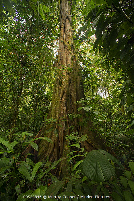 Fig (Ficus sp), Choco Rainforest, Ecuador  -  Murray Cooper
