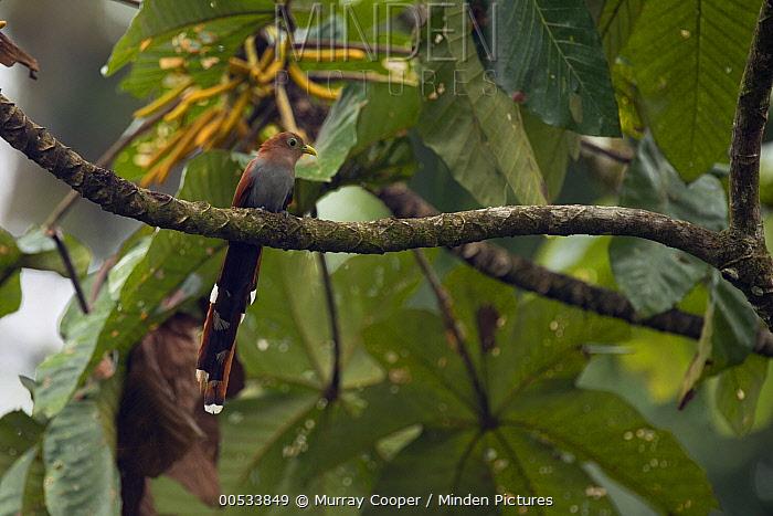 Squirrel Cuckoo (Piaya cayana), Choco Rainforest, Ecuador  -  Murray Cooper