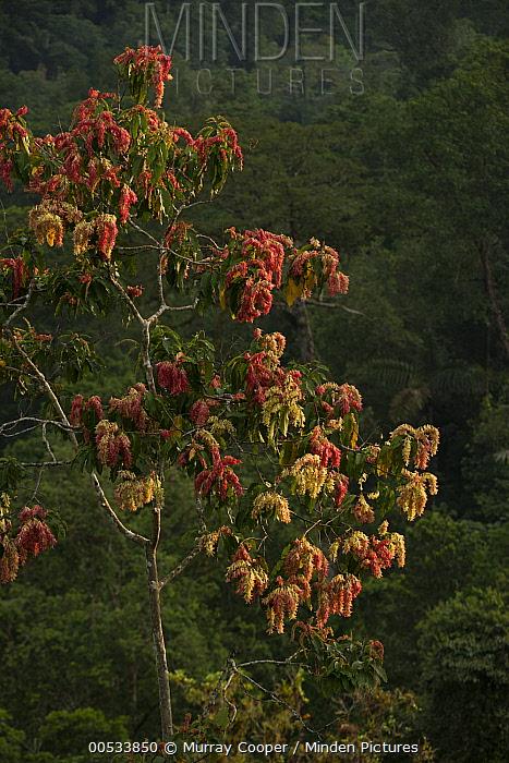 Palo Santo (Triplaris cumingiana) tree flowering, Choco Rainforest, Ecuador  -  Murray Cooper