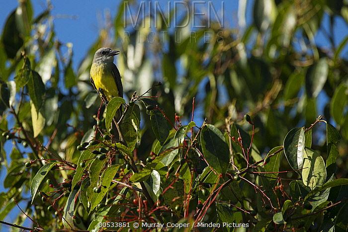 Tropical Kingbird (Tyrannus melancholicus), Andes, Ecuador  -  Murray Cooper