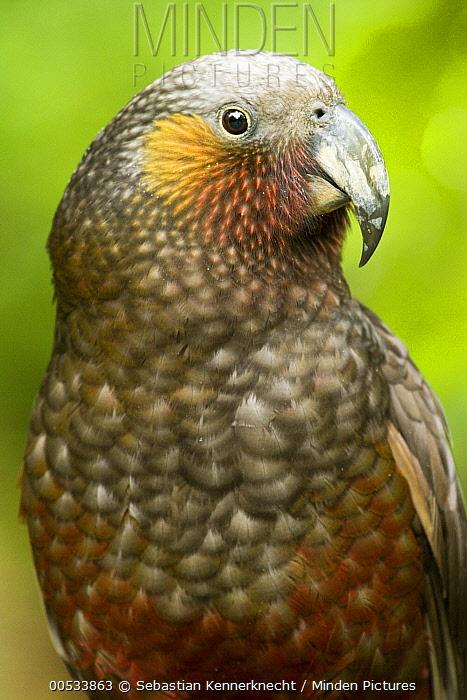 New Zealand Kaka (Nestor meridionalis) parrot, North Island, New Zealand  -  Sebastian Kennerknecht