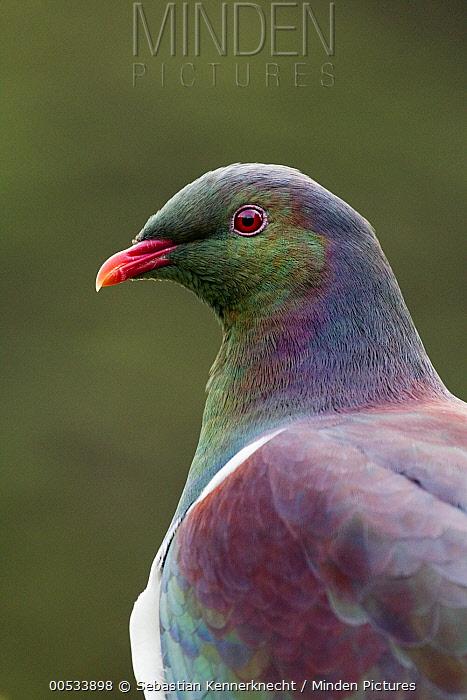 New Zealand Pigeon (Hemiphaga novaeseelandiae), Kapiti Island, North Island, New Zealand  -  Sebastian Kennerknecht