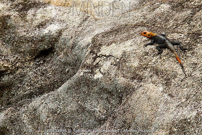 Red-headed Rock Agama (Agama agama) male sunning on rock, Lope National Park, Gabon  -  Sebastian Kennerknecht
