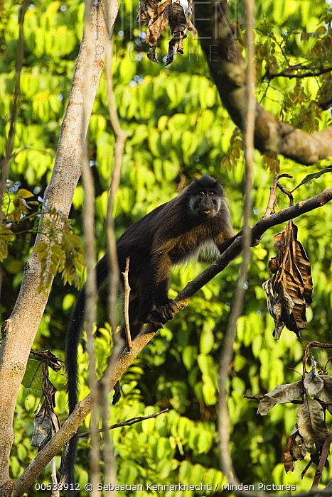 Gray-cheeked Mangabey (Lophocebus albigena) climbing up branch, Lope National Park, Gabon  -  Sebastian Kennerknecht