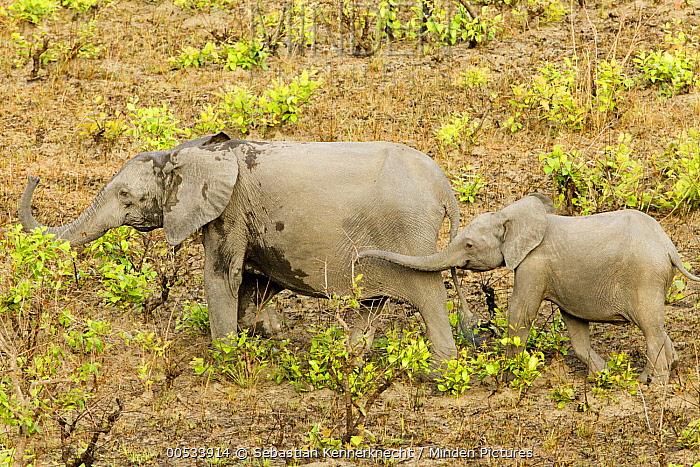 African Forest Elephant (Loxodonta africana cyclotis) mother and calf in savanna, Lope National Park, Gabon  -  Sebastian Kennerknecht
