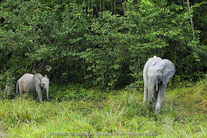 African Forest Elephant (Loxodonta africana cyclotis) mother and calf, Lope National Park, Gabon  -  Sebastian Kennerknecht