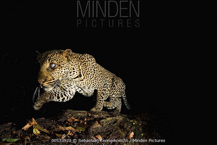 Leopard (Panthera pardus) male with Fire Ant (Solenopsis sp) damaged eyes, crossing log bridge at night, Lope National Park, Gabon  -  Sebastian Kennerknecht
