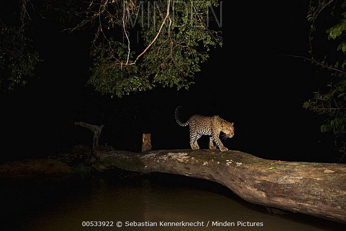 Leopard (Panthera pardus) female with Fire Ant (Solenopsis sp) damaged eyes, crossing log bridge at night, Lope National Park, Gabon  -  Sebastian Kennerknecht