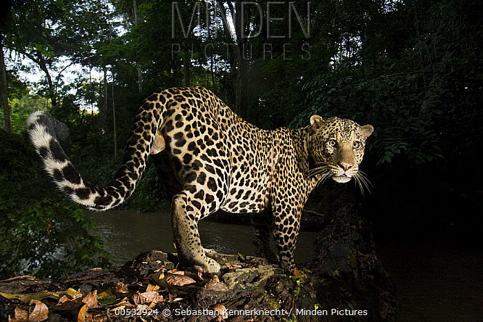 Leopard (Panthera pardus) male crossing log bridge over river in tropical rainforest, Lope National Park, Gabon  -  Sebastian Kennerknecht