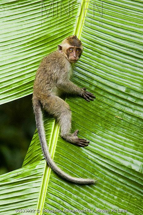 Long-tailed Macaque (Macaca fascicularis) juvenile climbing down leaf, Tawau Hills Park, Sabah, Borneo, Malaysia  -  Sebastian Kennerknecht