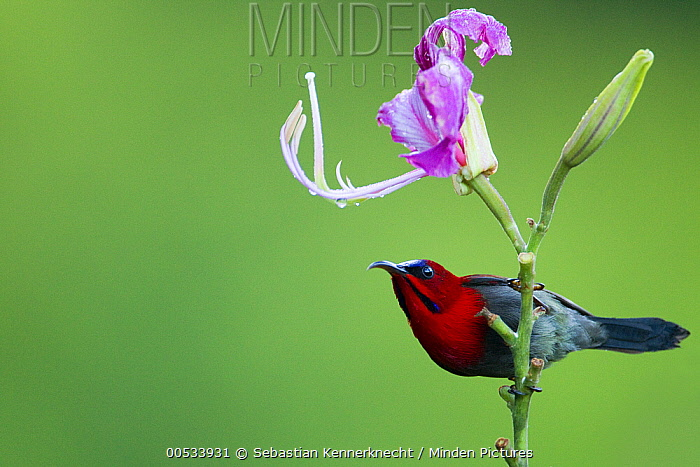 Crimson Sunbird (Aethopyga siparaja) male, Tawau Hills Park, Sabah, Borneo, Malaysia  -  Sebastian Kennerknecht