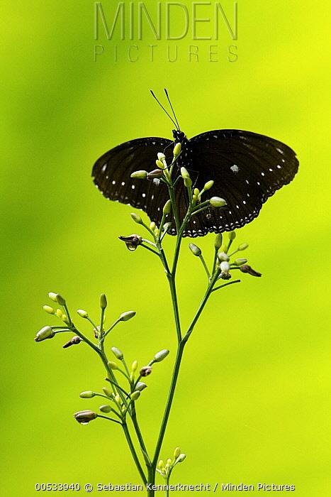 Malayan Egg Fly (Hypolimnas anomala) male butterfly, Tawau Hills Park, Sabah, Borneo, Malaysia  -  Sebastian Kennerknecht