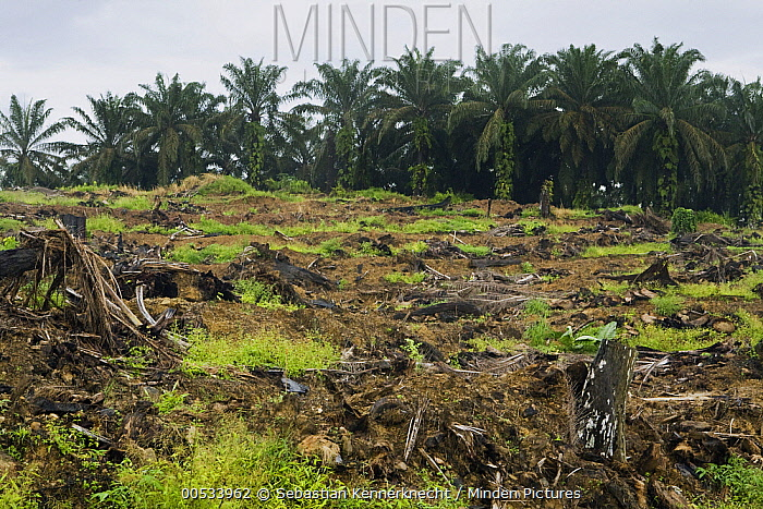 African Oil Palm (Elaeis guineensis) plantation and clear cut for new planting, Sabah, Borneo, Malaysia  -  Sebastian Kennerknecht
