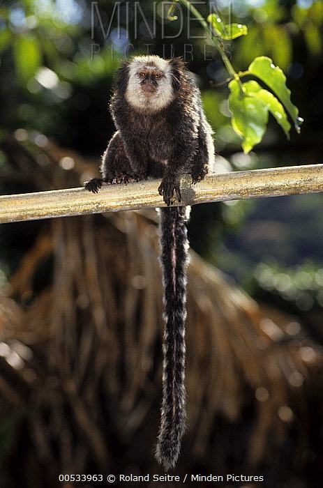 Geoffroy's Marmoset (Callithrix geoffroyi) adult, South America  -  Roland Seitre