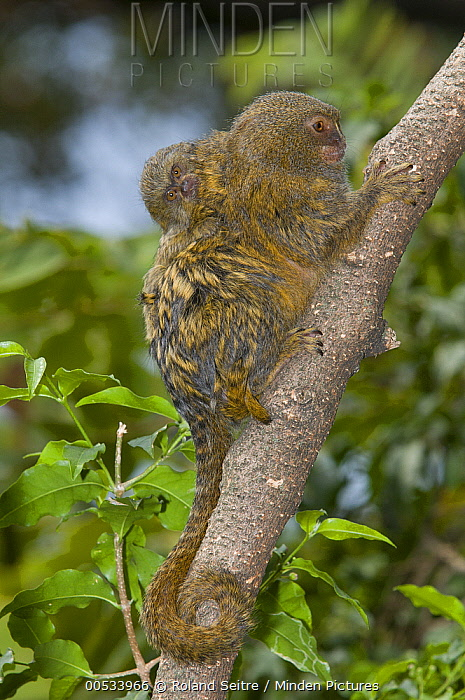 Pygmy Marmoset (Cebuella pygmaea) juvenile clinging to mother's back, Zoo, Medelllin, Antioquia, Colombia  -  Roland Seitre