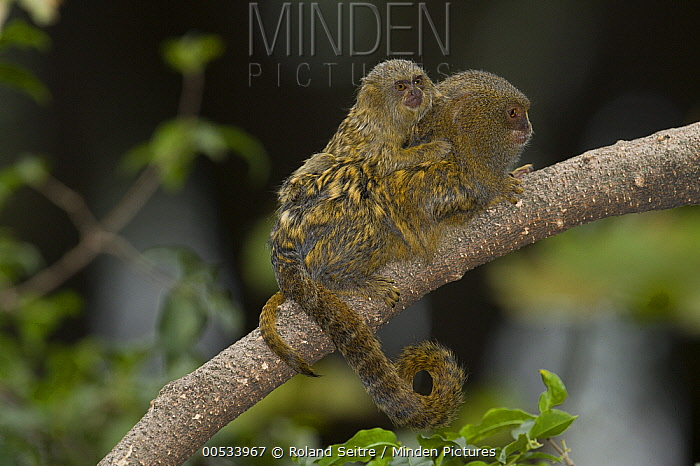 Pygmy Marmoset (Cebuella pygmaea) juvenile clinging to parent, Zoo, Medelllin, Antioquia, Colombia  -  Roland Seitre