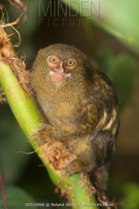 Pygmy Marmoset (Cebuella pygmaea), Zoo, Santiago de Cali, Valle del Cauca, Colombia  -  Roland Seitre