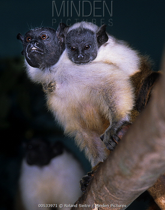 Bare Faced Tamarin (Saguinus bicolor) clinging to one another, South America  -  Roland Seitre