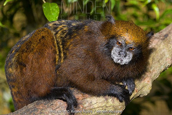 Saddle-back Tamarin (Saguinus fuscicollis), breeding facilities of Zoologico del Istmo, Colon, Panama  -  Roland Seitre