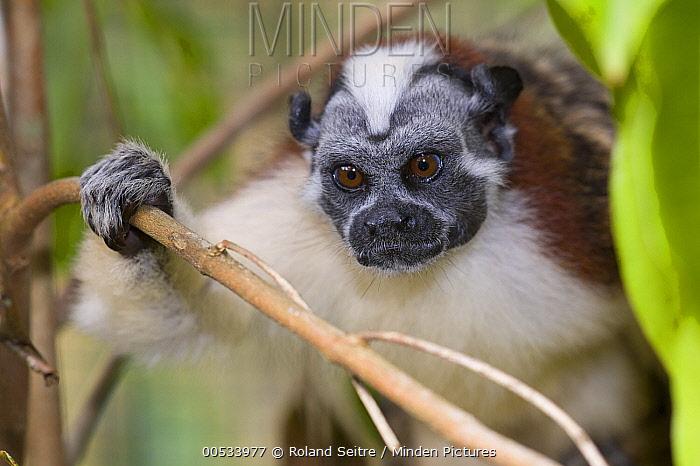 Geoffrey's Tamarin (Saguinus geoffroyi), Jacobo Lacs, breeding facilities of Zoologico del Istmo, Colon, Panama  -  Roland Seitre