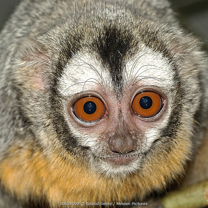 Azara's Night Monkey (Aotus azarae) showing large eyes  -  Roland Seitre