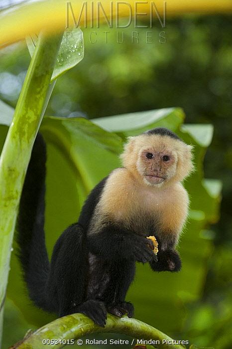 White-faced Capuchin (Cebus capucinus) in banana plantation, Sierpe del Pacifico, Osa Peninsula, Costa Rica  -  Roland Seitre